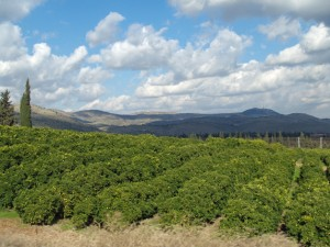 Lemon grove in Galilee, David Shankbone, Wikipedia