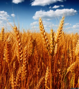 Wheat field, Dollar Photo Club